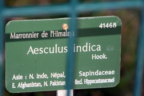 aesculus indica paris 23 juin 2012 013.jpg