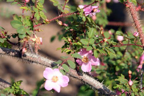 rosa elegantula paris 4 mai 067.jpg