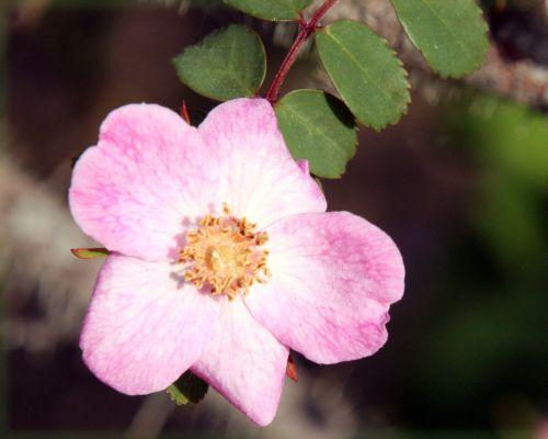 rosa elegantula fl paris 4 mai 068.jpg