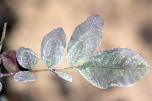 pistacia vera 14 fev 2012 022.jpg