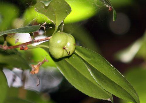 fruits camellia 25 juillet 2008 006.jpg