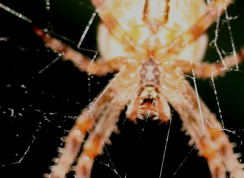 araignée tête 21 oct 015.jpg