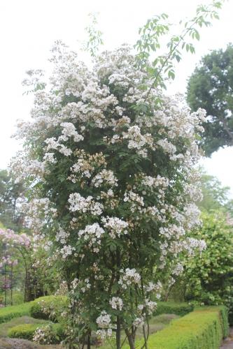 11 rosa multiflora rambling rector gb 14 juin 2015 139 (1).jpg
