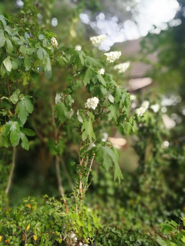 19 hydrangea quercifolia 1 juil 2018 153.jpg