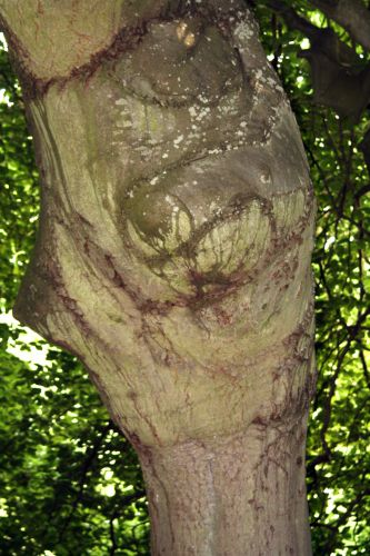 fagus tronc Segrez 041.jpg