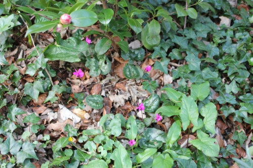 1 cyclamen  pseudibericum 5 avril 2015 004.jpg