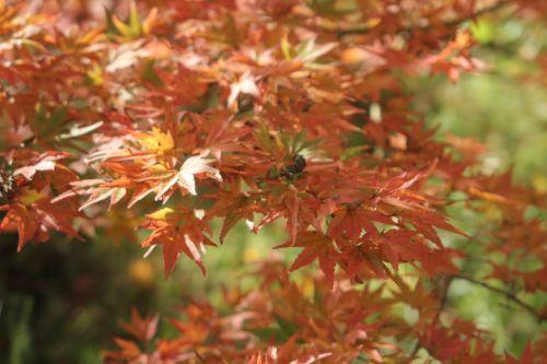 acer palmatum gb 21 oct 2012 171 (3).jpg