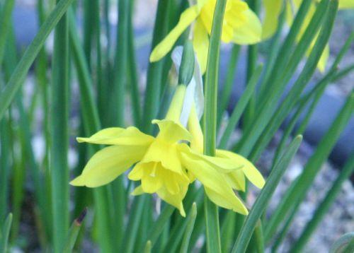 narcissus odorus paris 23 mars 074.jpg