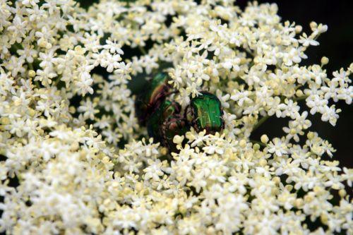 viridis cétoines s'enfoncent 23 mai 074.jpg