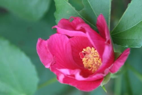 14 hibiscus mutabilis veneux 18 sept 2016 004.jpg