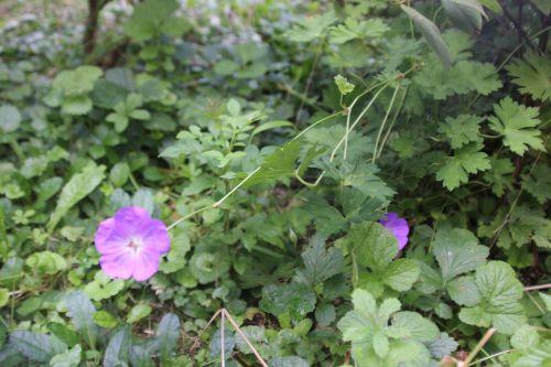 0 geranium romi 3 août 2014 009 (1).jpg