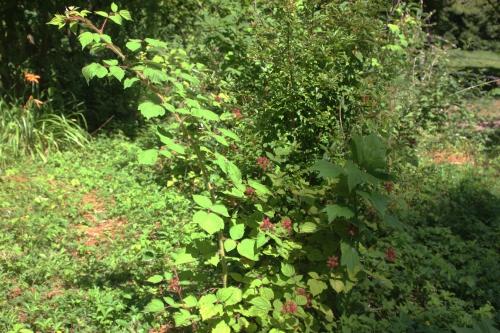 1 rubus phoenicolasius romi 28 juin 2015 025.jpg