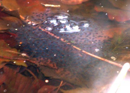 grenouilles pontes 20 mars 002.jpg
