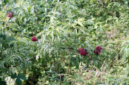 plum vir branche romi22 juin 2010 039.jpg