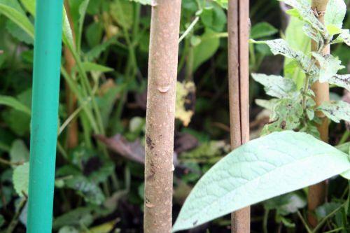 edgeworthia tronc romi 3 oct 2010 056.jpg