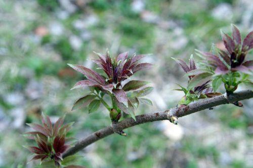 rouge plumosa vir romi 30 mars 130.jpg