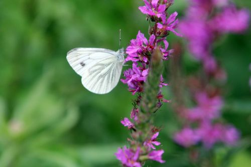8 lythrum salicaria romilly 16 juil 2012 265.jpg