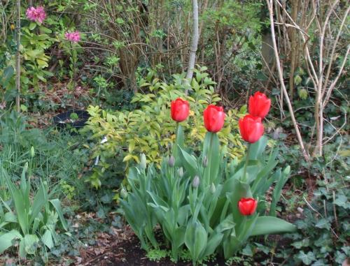 2 tulipes rec veneux 15 avril 2016 003.jpg