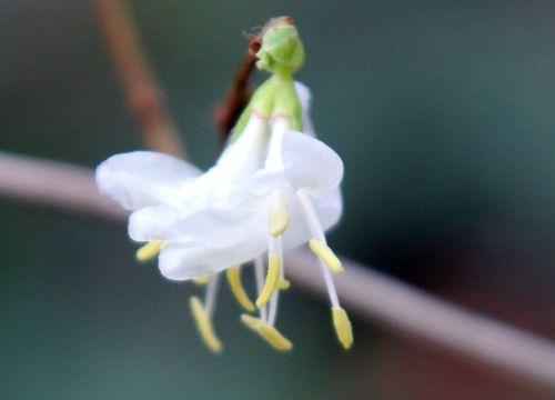 fleur 3 lonicera fr rec 9 janv 2012 043.jpg