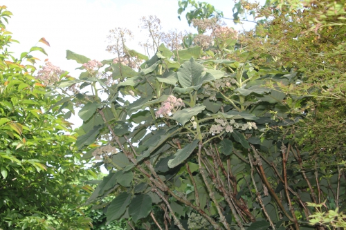 4 hydrangea sargentiana 30 juin 2012 119 (2).jpg