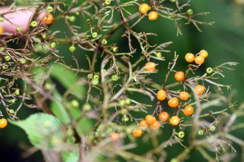 chinensis cor 1 oct 2010 003.jpg