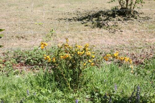 6 berberis darwinii romi 23 avril 2015 080.jpg