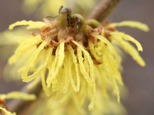 hamamelis fleur romilly 23 fev 007.jpg