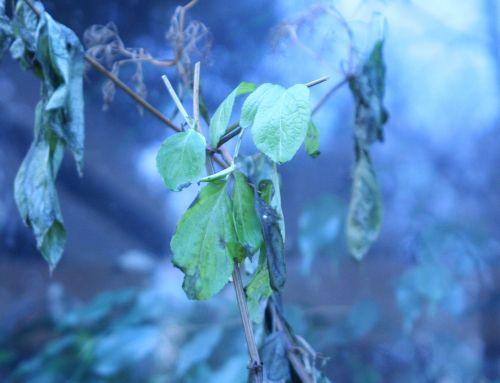 chinensis feuilles 25 janvier 007.jpg