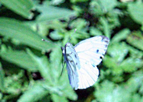 pieris en vol romi 30 juil 2010 pp 007.jpg