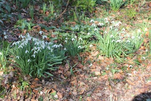4 galanthus veneux 4 mars 2015 002.jpg