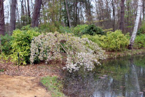 5 prunus yedoensis ivensii gb 30 mars 2014 055.jpg