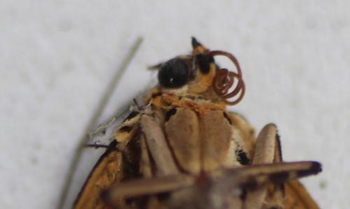7 callimorpha quadripunctaria veneux 1 août 2015 005.jpg