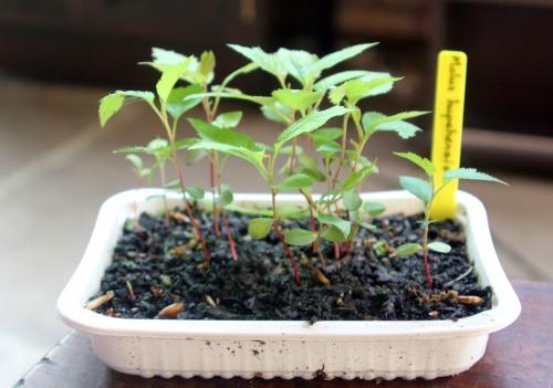 7 malus hupe semis 29 avril 2012 007.jpg