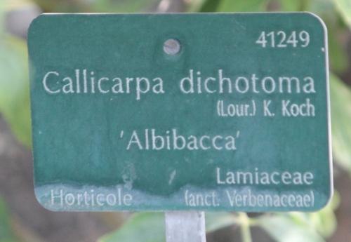 callicarpa dicho paris 24 sept 2011 112.jpg