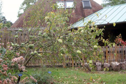8 pseudocydonia sinensis barres 8 oct 2011 051.jpg