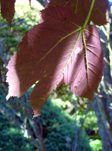 acer pseudopl purpur feuille barres 11 oct 145.jpg