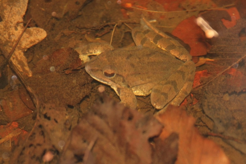 grenouille veneux 25 fev 2016 023.jpg