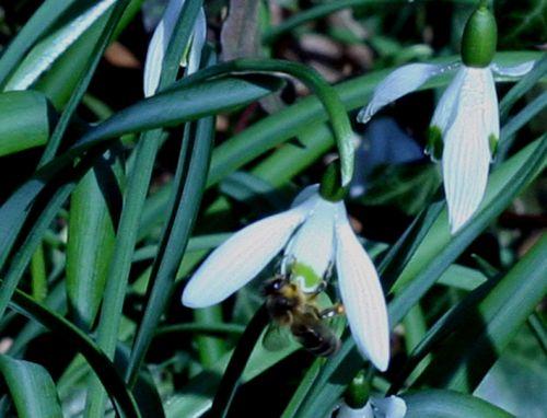 abeille veneux 15 mars 023.jpg