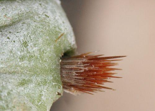 humifusa glochides pr 18 février 009.jpg