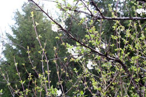 cerisier fleurs brouss 13 avril 057.jpg