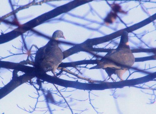 pigeons couple près 14 dec 009.jpg