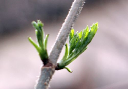 palmensis veneux 3 fev 2012 015.jpg