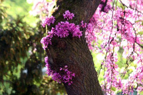 cercis fleurs paris 27 avril 023.jpg