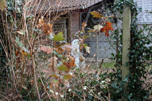hydrangea quercifolia veneux 3 janvier 2014 021 (1).jpg