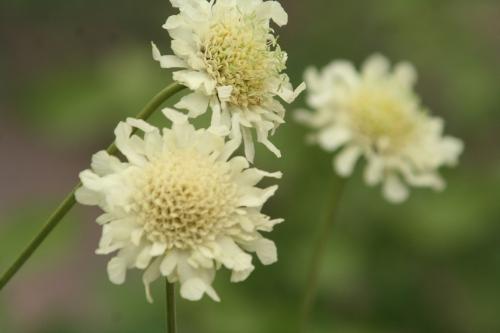 g cephalaria alp paris 8 juin 115.jpg