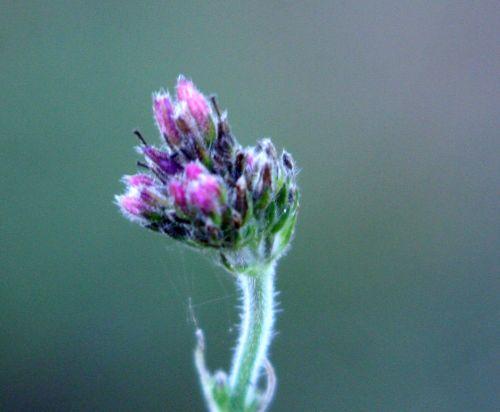 verbena fleurs romi 21 nov 012.jpg