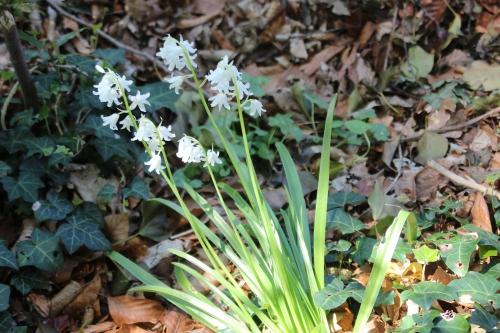 hyacinthoides veneux 1 mai 2016 006.jpg