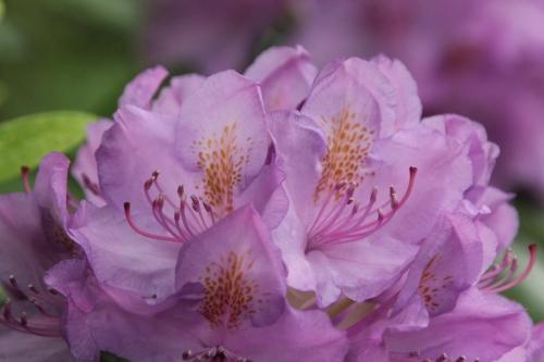 9 rhododendron catawbiense veneux 12 mai 2018 005 (4).jpg