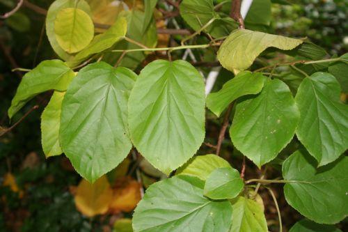 actinidia x feuilles veneux 25 sept 2010 013.jpg