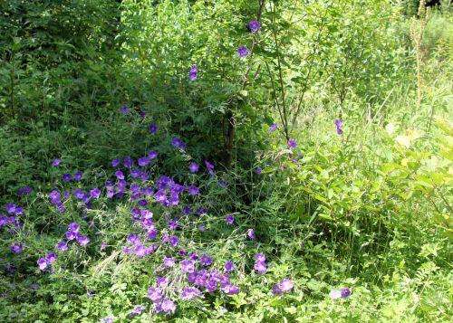 2 geranium orion romi 17 juin 2012 001.jpg